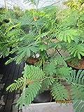 Acacia dealbata - Silberakazie