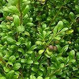 Ilex crenata 'Caroline Upright' - Houx crénelé à feuilles de buis