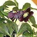 Christrose, Helleborus x orientalis rot von VDG-Stauden auf Du und dein Garten
