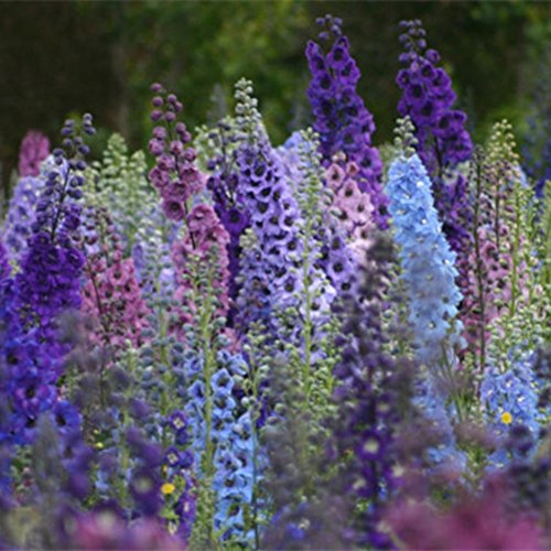 Doubleer Graines Delphinium Graines De Fleurs grande Plante Aérobique D'intérieur Balcon en pot Ornementales Graines De Fleurs