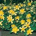 """Teppich-Johanniskraut """"Rose von Sharon"""" - Hypericum calycinum """"Rose von Sharon"""" - leuchtend gelb blühende Bienenstaude im 9 cm Topf - frisch aus der Gärtnerei - Pflanzen-Kölle Gartenstaude von Kölle bei Du und dein Garten"""