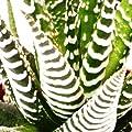 """Haworthia fasciata """"Big Band"""" - kleine Pflanze im 5,5cm Topf"""