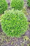 japanische Hülse Ilex crenata Blondie Kugel 35-40 cm mit Ballen