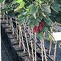 Müllers Grüner Garten Shop Jonkheer v. Tets, rote Johannisbeere, Frühsorte, saftig, Fußstamm, ca. 50 cm Stamm im 5 Liter Topf von Grüner Garten Shop - Du und dein Garten