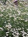 Kräuterey : Mutterkraut - Chrysanthemum parthenium - Pflanze - Bioland von Kräuterey - Du und dein Garten