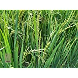 [Sponsored]100 Seeds Of Rarest Paddy NAVARA Paddy Seeds/ Grains For Sowing / Growing Rice ( Paddy ) In A Container Terrace Garden ( 100+seeds) For Fancy Gardening. Botanical Name (Oryza Sativa Linn).(100+ HAND PICKED HEALTHY SEEDS WILL BE SHIPPED)