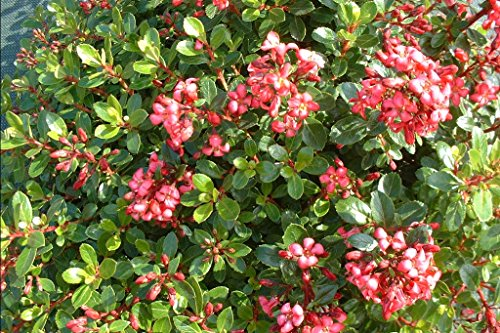 1-pianta-escallonia-red-dream-sempreverdi-e-rampicanti
