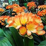 Calli 5pcs arbusto semillas clivia lirio planta de salón