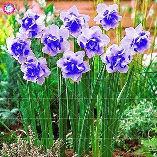 GEOPONICS SEEDS: 100 Stück Doppelklappe Narcissus (nicht Birnen) Bonsai Narcissus tazetta Bonsai Blume Innen-Blumen Topfpflanzen: 2