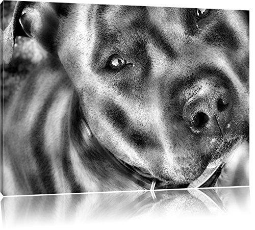 Monocrome, schöner Pit Bull Terrier, Format: 100x70 auf Leinwand, XXL riesige Bilder fertig gerahmt mit Keilrahmen, Kunstdruck auf Wandbild mit Rahmen, günstiger als Gemälde oder Ölbild, kein Poster oder Plakat