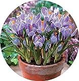 Safran Ampoules, Pays-Bas Crocus sativus Fleur Plante Rare Bonsai Fleur Floraison Plantes Bulbes frais (il est pas de graines) -2 Ampoules