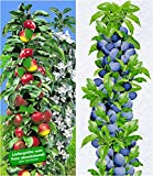 BALDUR-Garten Säulen-Obst-Kollektion Apfel & Zwetschgen, 2 Pflanzen Apfelbaum + Zwetschenbaum