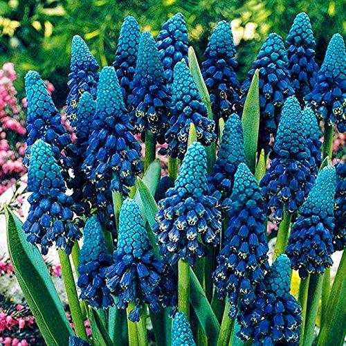 Soteer Garten - Hyazinthen Samen- die Königin der Frühlingsblumen Samen Traubenhyazinthe Farben Mischung für Barkon, Garten usw.