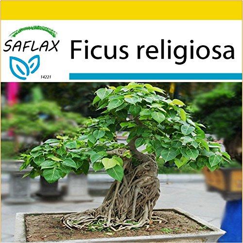 SAFLAX - Anzucht Set - Bonsai - Buddha-Feige / Bodhi-Baum - 100 Samen - Ficus religiosa