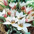 Clusiana Tulpe Lady Jane - 10 blumenzwiebeln von Meingartenshop bei Du und dein Garten