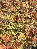 Purpurglöckchen Marmalade Bodendecker weiß blühend Staude Hell-Halbschatten Heuchera villosa im 3 Liter Topf 1 Pflanze