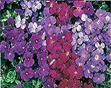 JustSeed - Blume - Rock Cress - Griechisches Blaukissen (Aubrieta deltoidea) - Royal Gemischt - 250 Samen