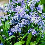 Sibirischer Blaustern Ø 6/7-25 Stück Blumenzwiebeln, Direkt von holländischem Boden