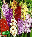 BALDUR-Garten Riesen-Gladiolen-Mix, 30 Zwiebeln Gladiolus Mischung