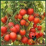Best Tomato Plants - Natural Garden Plants Tomato Arka Rakshak Hybrid F1 Review