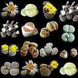 Lithops Mischung - Lebende Steine - Living Rocks - 100 samen