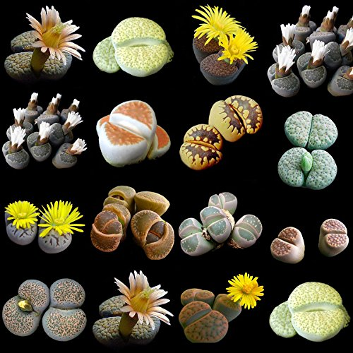 lithops-mixed-seeds