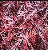 Portal Cool Acer palmatum Dissectum Tamukeyama/Japanischer Ahorn