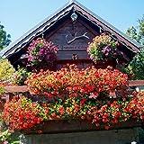 Keland Garten - Rarität blutrot Storchschnabel Bodendecker Blumensamen Stauden-Geranie winterhart mehrjährig in Beetränder und Steingärten