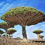 Tomasa Samenhaus- Raritäten 10 stücke Drachenbaum Samen Garten Pflanzen Saatgut winterhart mehrjährig Zierpflanzen