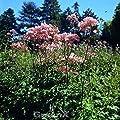 Akeleiblättrige Wiesenraute Thundercloud - Thalictrum aquilegifolium von Baumschulen bei Du und dein Garten