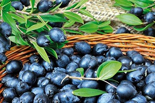bacche-di-mirto-sardo-myrtus-communis-1-kg-selezionato-da-big-sardinia-per-fare-il-liquore