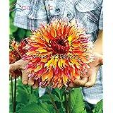 100 PC semillas de tipo ordinal de los bulbos de la dalia japoneses Semillas Bonsai flores de las plantas del jardín hermoso de la flor perenne Bonsai Pot barato