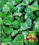 BALDUR-Garten Winterharte Efeu Pflanze 'Baltica', 3 Pflanzen Bodendecker und Kletterpflanze
