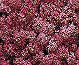 Steinkraut - Wunderland Tief Rose - 500 Samen