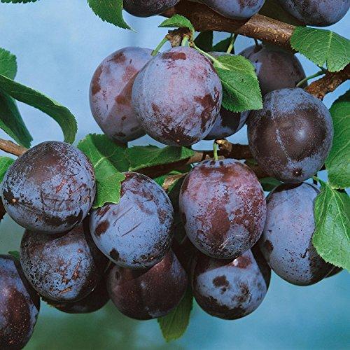 "Pflanzenservice Pflaumenbaum, Säulenpflaume ""Imperial"", 1 Pflanze, ca. 60 - 80 cm Stamm, 5 - 7 Liter Container"