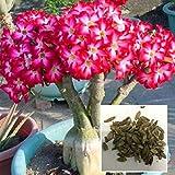Auntwhale (50 Stück) Wüstenrose Samen rot