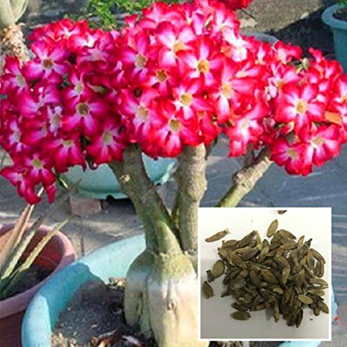 Auntwhale (50 Pcs) Desert Rose Graines Rouge