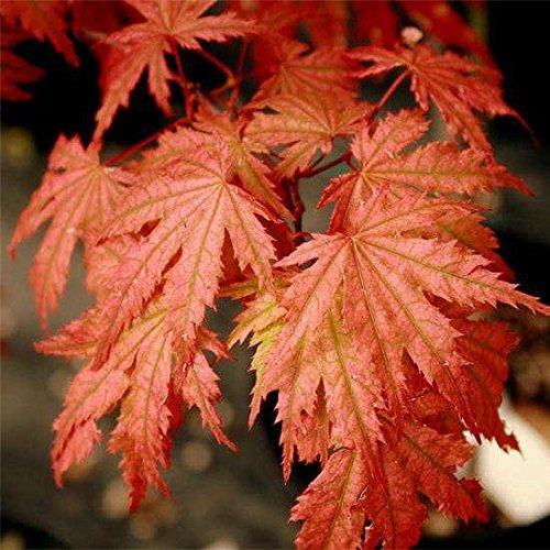 acer-palmatum-ariadne-exquisite-japanese-maple
