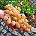 Gärtner Pötschke Weinrebe Vanessa von Gärtner Pötschke bei Du und dein Garten