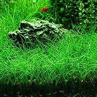 Rosepoem Semillas de la planta de agua Glossostigma Hemianthus callitrichoides acuática hierba del agua del acuario Decoración primer plano