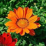 100pcs / bag color mezclado Gazania rigens semillas, semillas de flor para el hogar y el jardín, planta de los bonsai para plantaciones al aire libre de interior 4