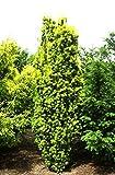 Eibe Säuleneibe Taxus baccata Fastigiata Containerware 30-40 cm