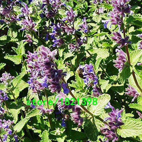 Chat de plantes de menthe semences de légume en pot balcon menthe Graines aromatiques Plante Effets radioprotectores 200pcs