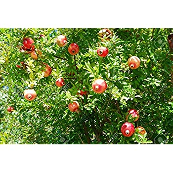 Granatapfel In Der Ss