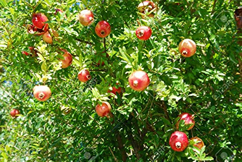 Saatgut Granatapfel / Punica Granatum, 15 Samen