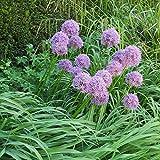 lichtnelke - Riesenlauch Kugellauch Lauch ( Allium giganteum) purpur Tb11