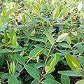 lichtnelke - Großblumiges Johanniskraut (Hypericum patulum) Hidcote von Lichtnelke Pflanzenversand bei Du und dein Garten