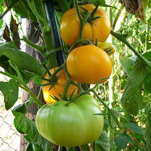 10 Samen Brandywine gelb Tomate - Fleischtomate, sehr geschmackvoll