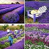 Shopmeeko 200pcs / bag Lavendelpflanze in der Provence Frankreich - sehr duftender Bonsai, der organische Lavendelpflanze Garden Balkon