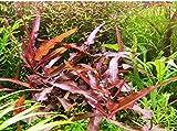 Persicaria Praetermissa Ruby–2Mazzo–Live Aquarium Plant